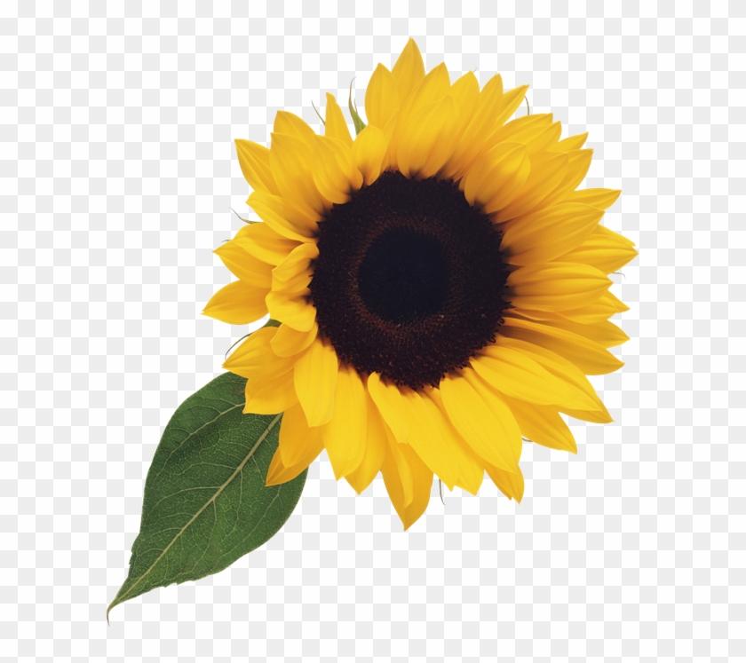 Transparent sunflower clipart jpg freeuse stock Free Sunflower Clipart Png - Transparent Background ... jpg freeuse stock