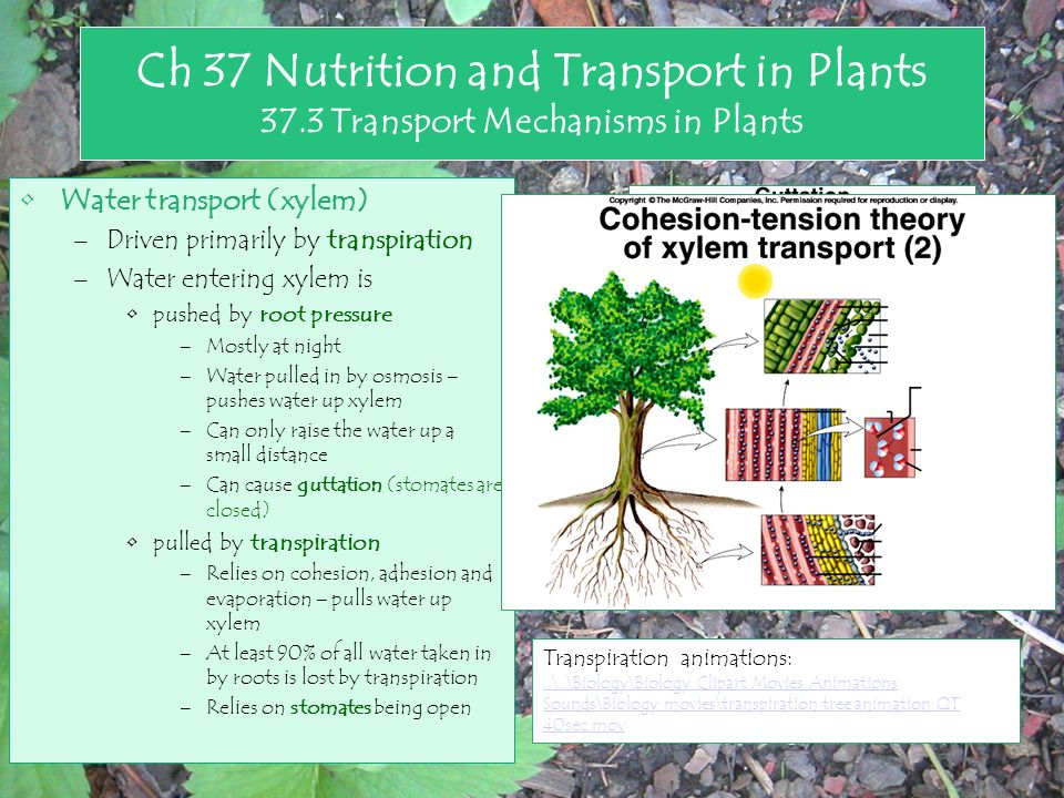 Transpiration trees and hills clipart picture download Chapter 25 Nutrition and Transport in Flowering Plants - ppt ... picture download