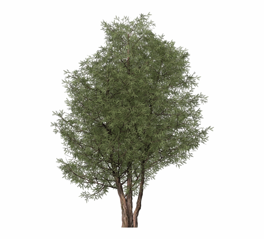 Images - Ash Tree Cut Out Free PNG Images & Clipart Download ... image black and white library