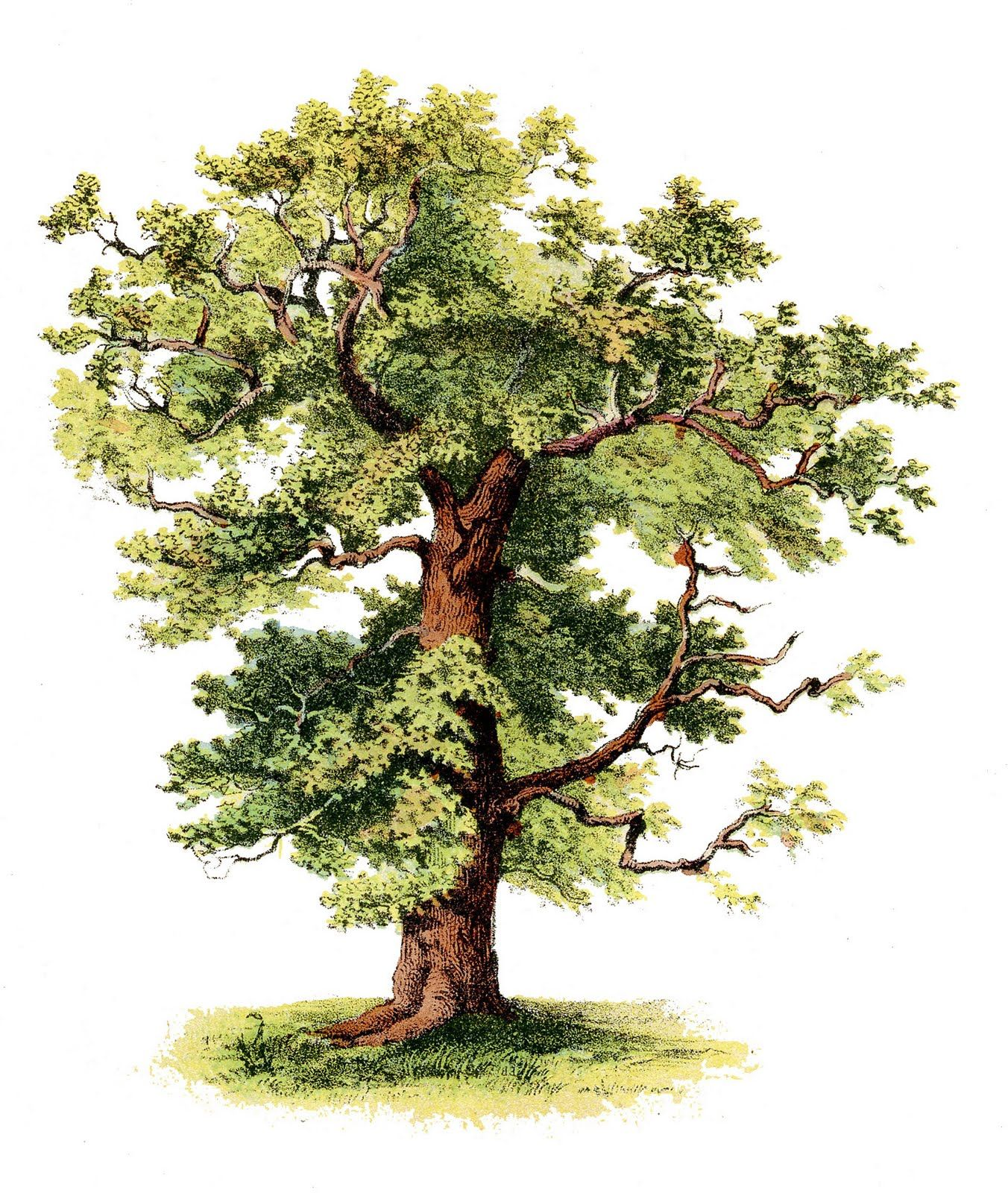 Tree illustrations clipart png royalty free stock Antique Clip Art - Beautiful Tree | Botanical Illustration ... png royalty free stock
