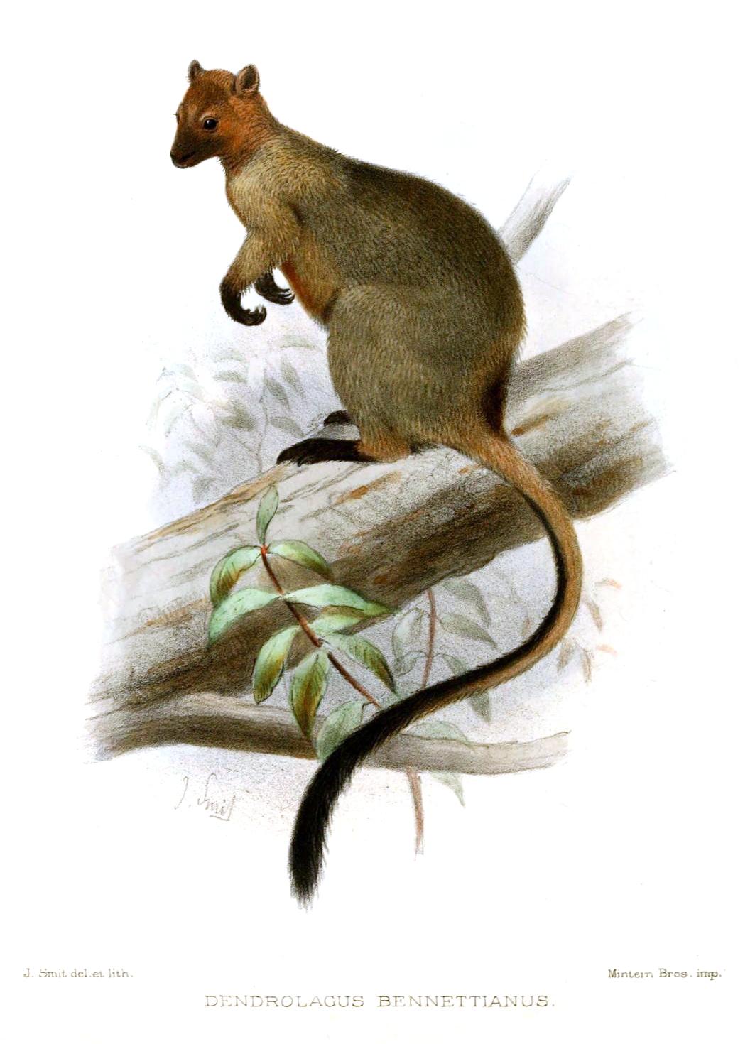 Tree kangaroo clipart png library download Bennett\'s tree-kangaroo - Wikipedia png library download