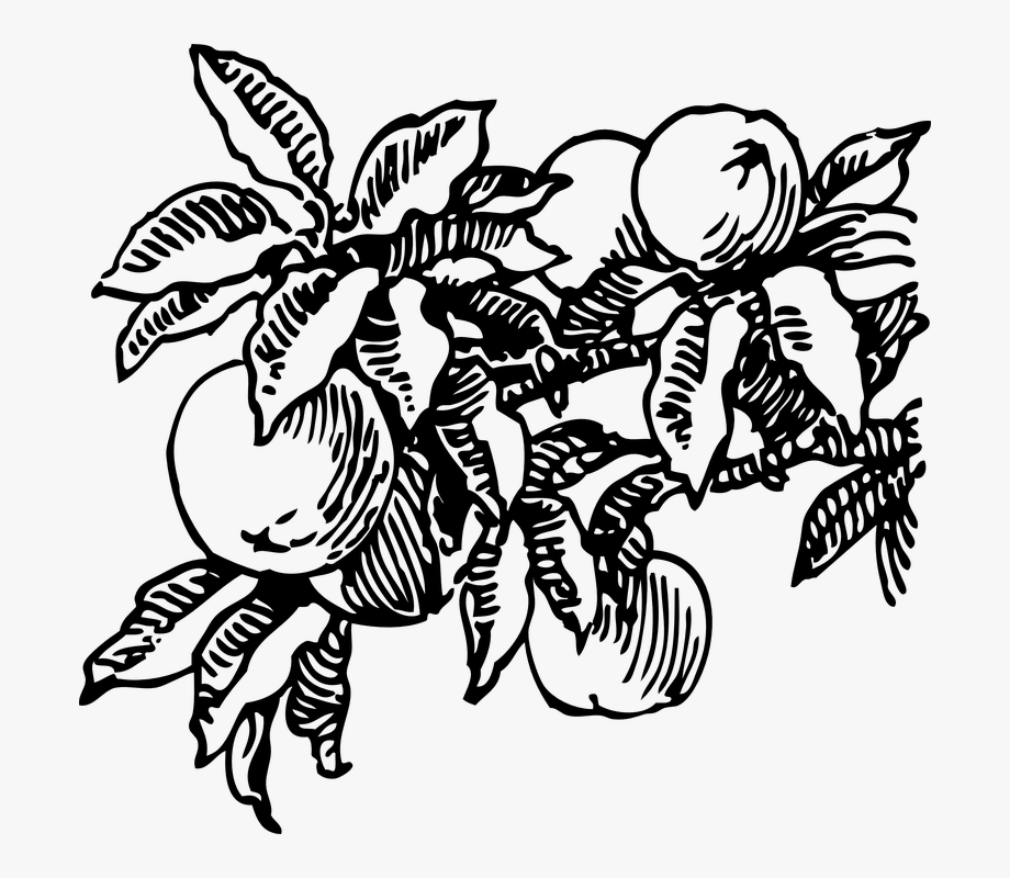 Peach Fruit Tree Peaches - Peach Clip Art #1522491 - Free ... vector black and white download