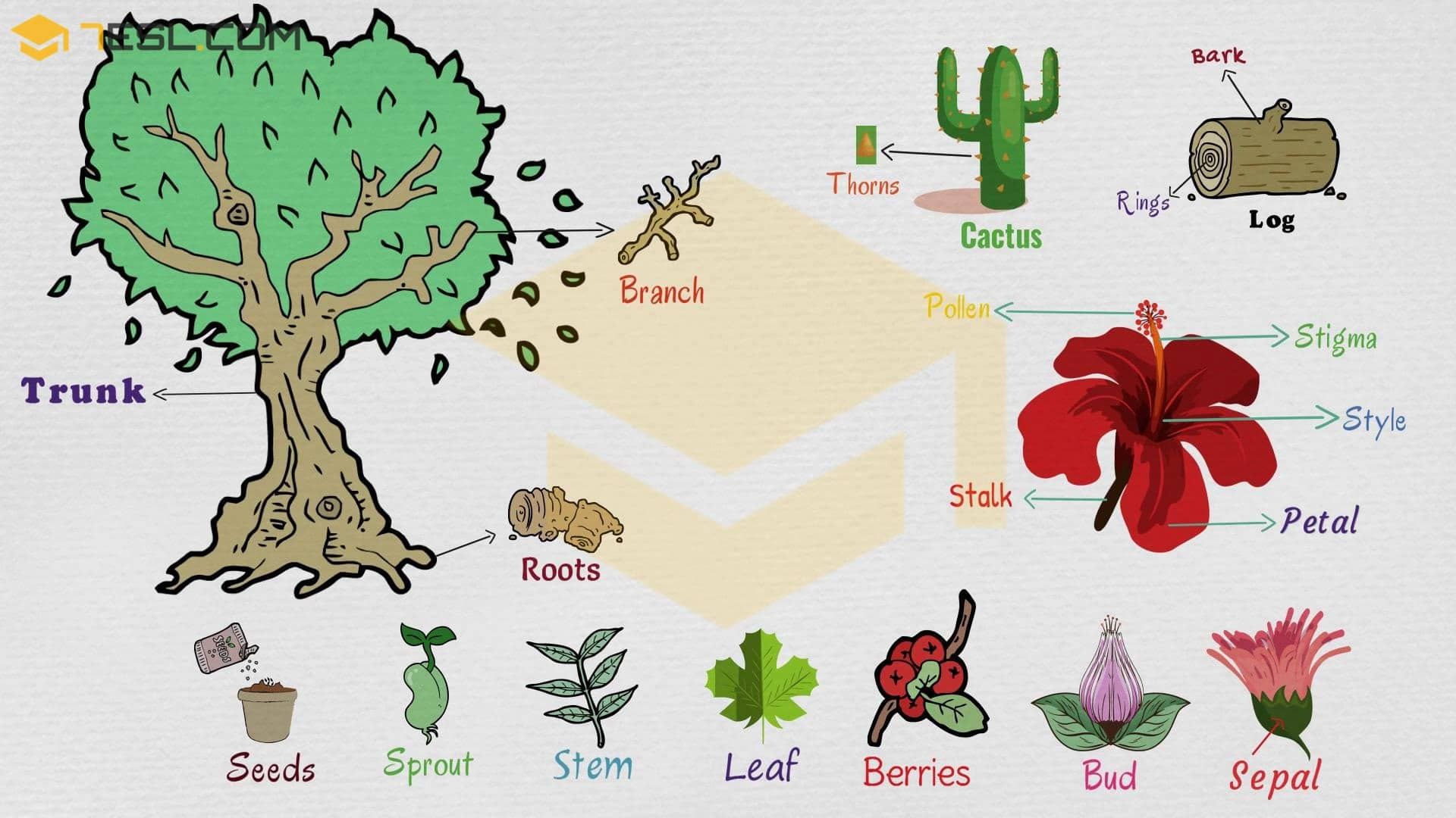 Tree trunk clipart space for a vocabulary word graphic library Parts of A Plant: Useful Plant Parts with Pictures - 7 E S L graphic library