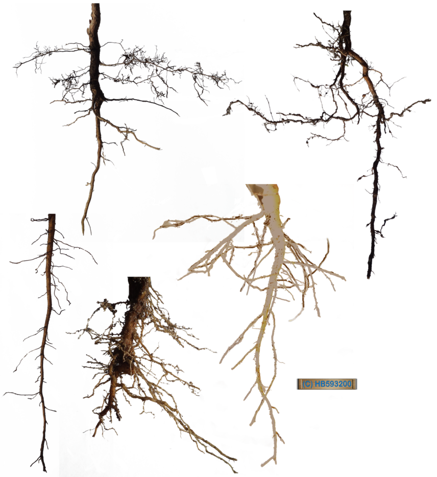 Tree trunk with roots clipart clipart download Root Stock Pack 001 by hb593200 on DeviantArt clipart download
