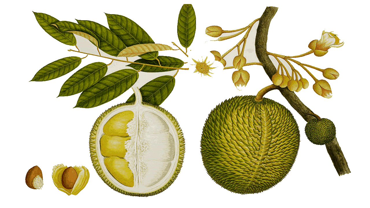 Tree with fruit clipart picture freeuse library 10 Durian Fruit Royalty Free Clipart - Fruit Names A-Z With Pictures picture freeuse library
