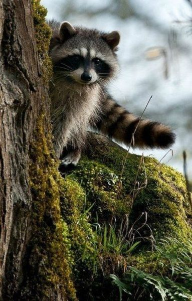 Tree with raccoons running up it clipart