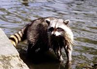 Raccoon - Procyon lotor - NatureWorks clip transparent download