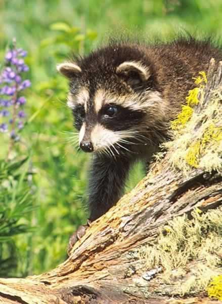 Raccoon - Procyon lotor - NatureWorks png stock