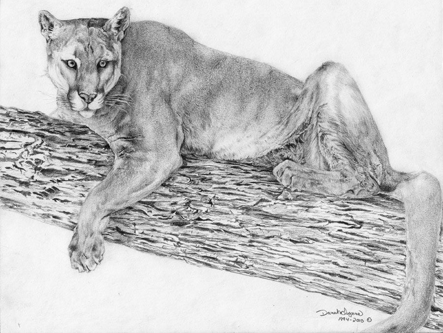 Mountain Lion Drawing at PaintingValley.com | Explore ... clip free library