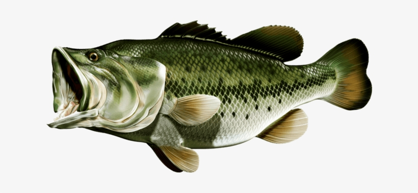 Trophy fish bass clipart transparent vector royalty free Largemouth Bass - Bass Fishing PNG Image | Transparent PNG ... vector royalty free