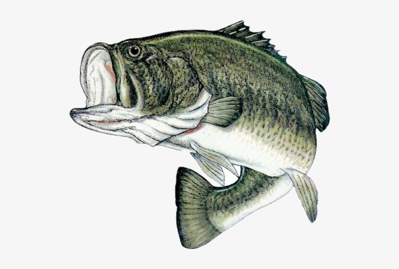 Bass Fishing Png - Bass Fish Png PNG Image | Transparent PNG ... picture free stock