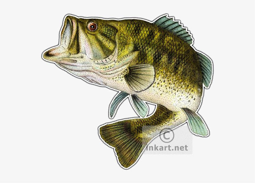 Trophy bass fishing clipart transparent stock Largemouth Bass Drawing At Getdrawings - Largemouth Bass ... stock
