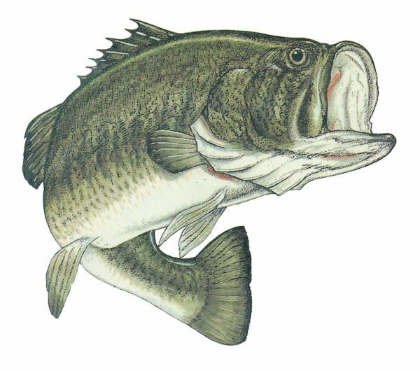 Trophy fish bass clipart transparent vector royalty free download Free Big Fish Cliparts, Download Free Clip Art, Free Clip ... vector royalty free download