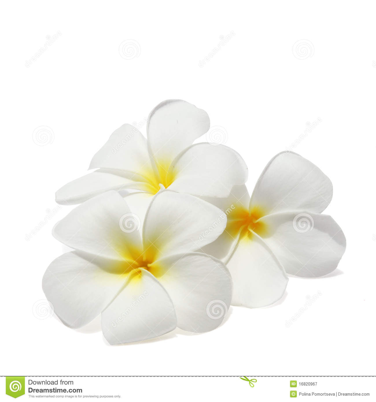 Tropical flowers pictures free jpg black and white Tropical Flowers Frangipani Isolated On White Royalty Free Stock ... jpg black and white