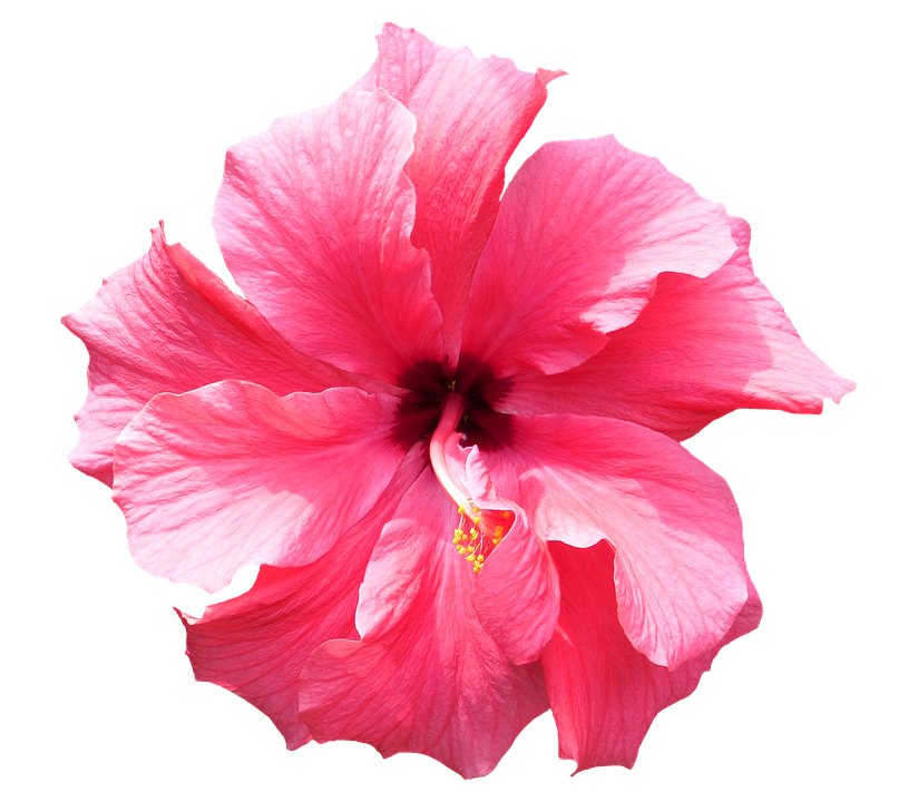 Tropical flowers pictures free banner freeuse download Free photo Pink Isolated Tropical Flower Hibiscus Floral - Max Pixel banner freeuse download