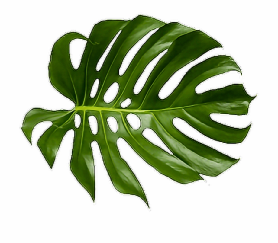 Tropical plant clipart clipart transparent stock Cheese Plant Leaf Tropics Leaves Tropical Palm Clipart ... clipart transparent stock