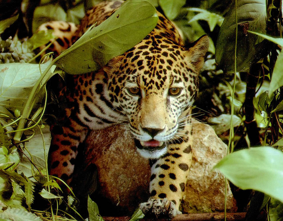 Tropical rainforest jaguar clipart jpg stock Jaguar in Amazon Rainforest wallpaper jpg stock