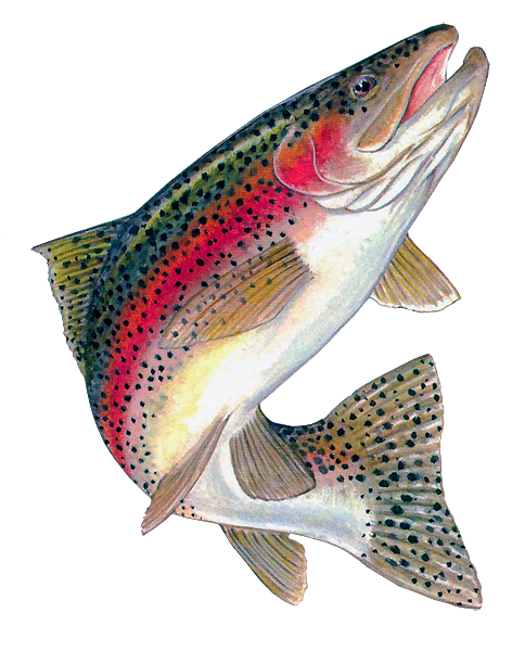 Trout clipart picture transparent stock Download Free png pin Trout clipart rainbow tro - DLPNG.com picture transparent stock