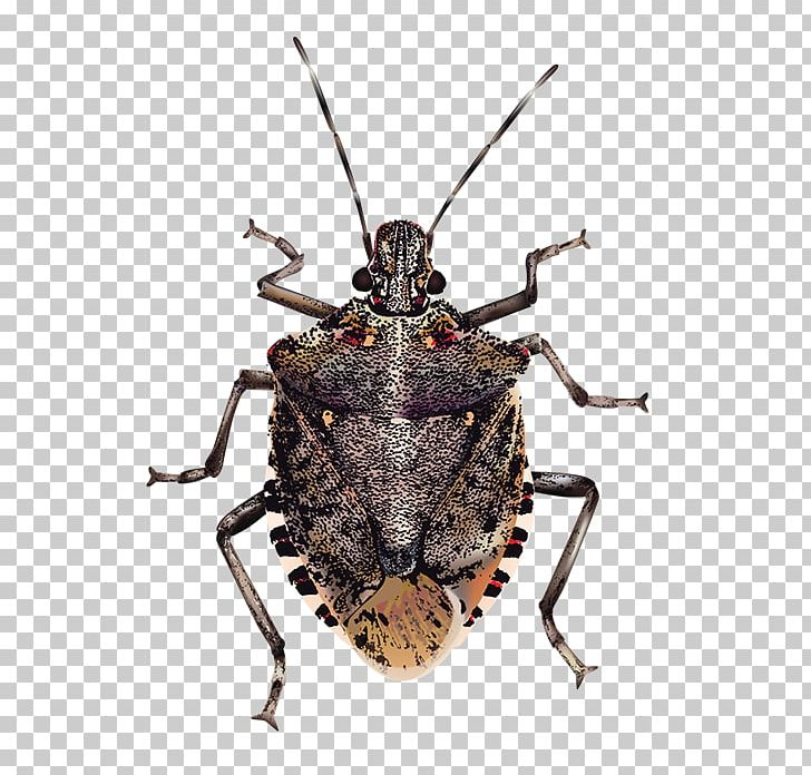 Insect Brown Marmorated Stink Bug True Bugs PNG, Clipart ... graphic freeuse stock