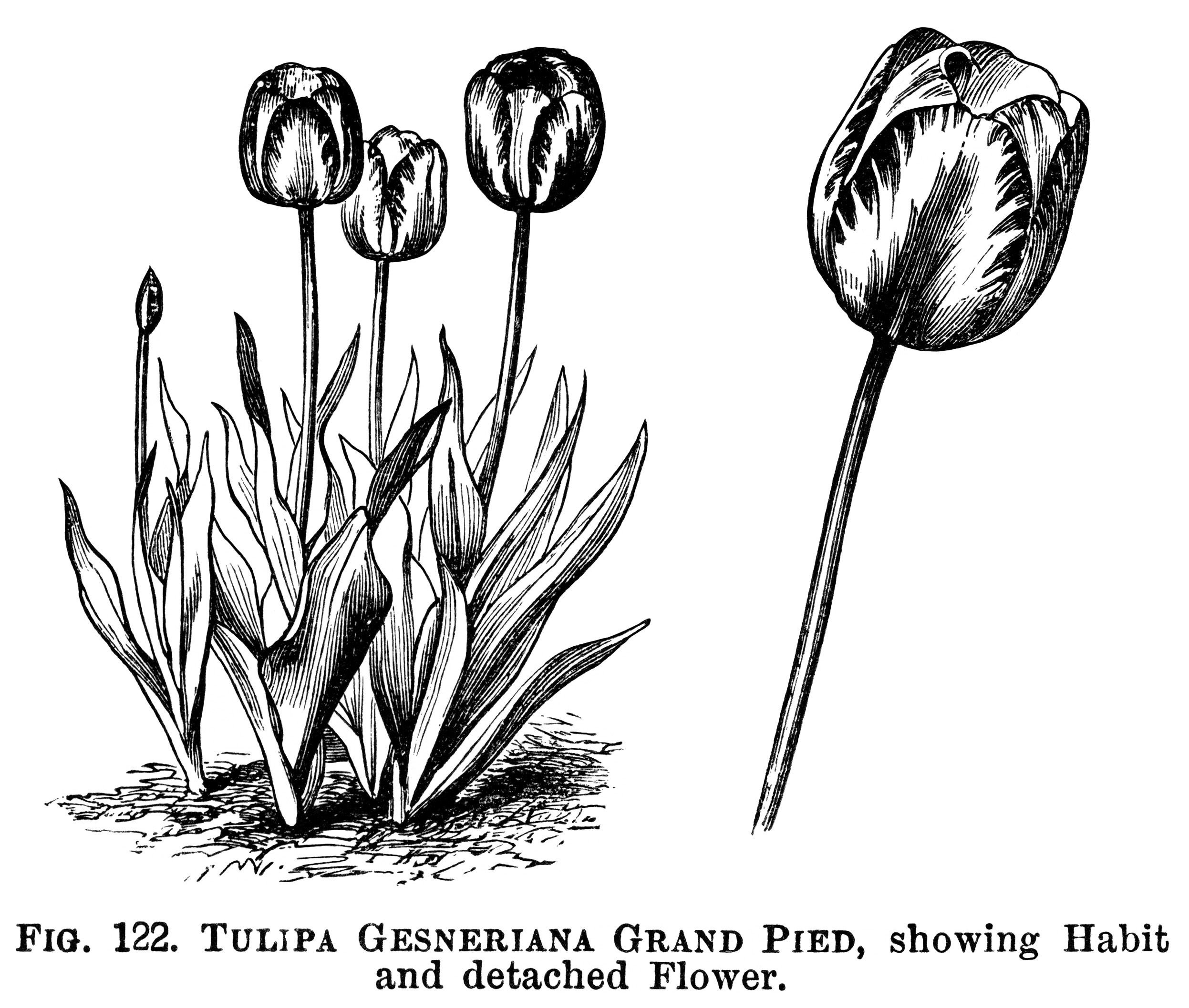 Tulips black and white clipart vector stock tulip clipart, black and white graphics, botanical flower ... vector stock