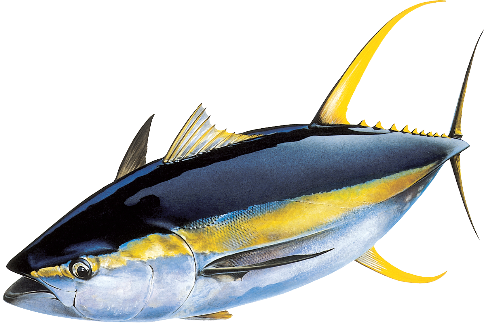 Tuna fish clipart graphic free PNG Tuna Transparent Tuna.PNG Images. | PlusPNG graphic free
