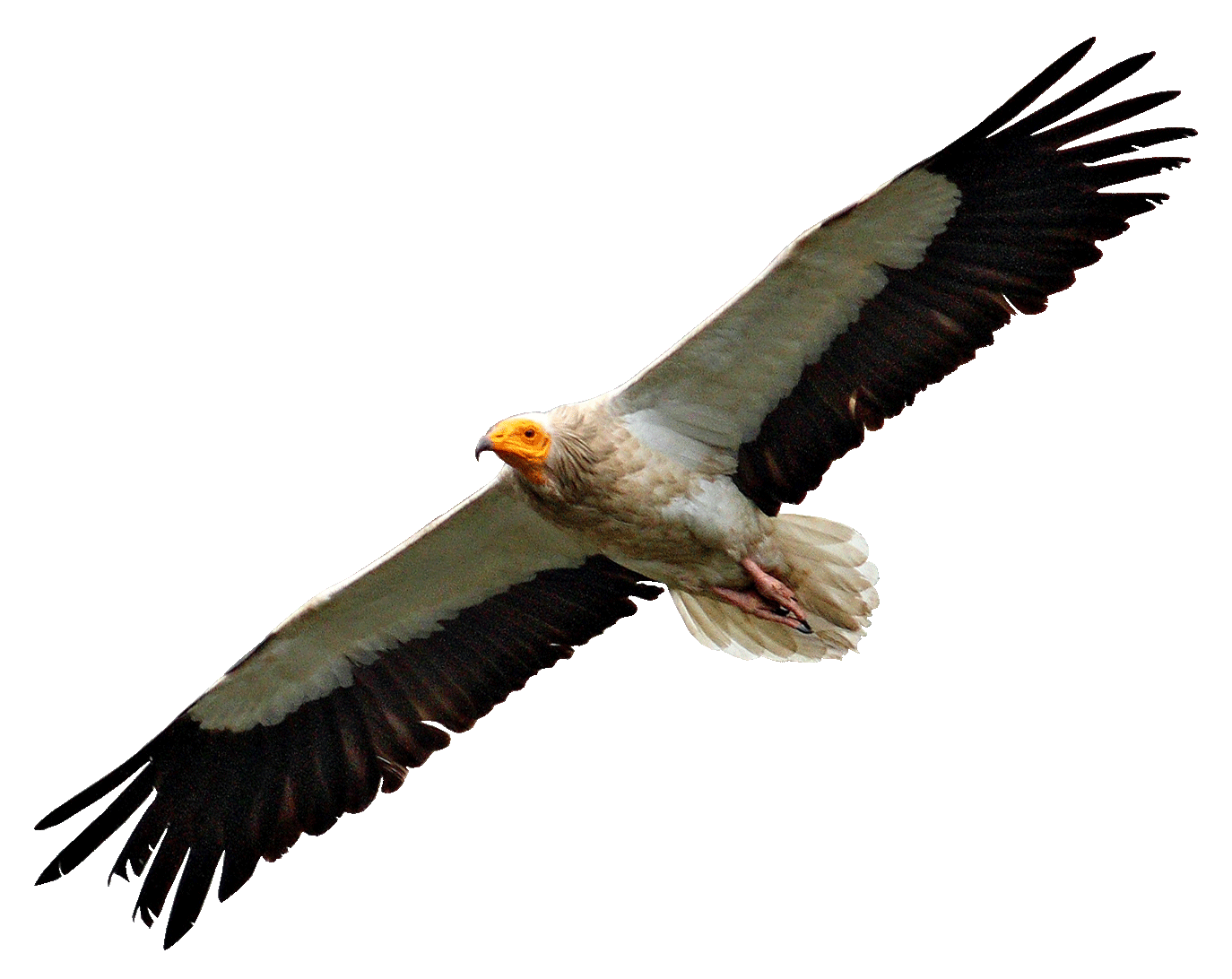 Turkey vulture clipart png black and white Vultures transparent PNG images - StickPNG png black and white