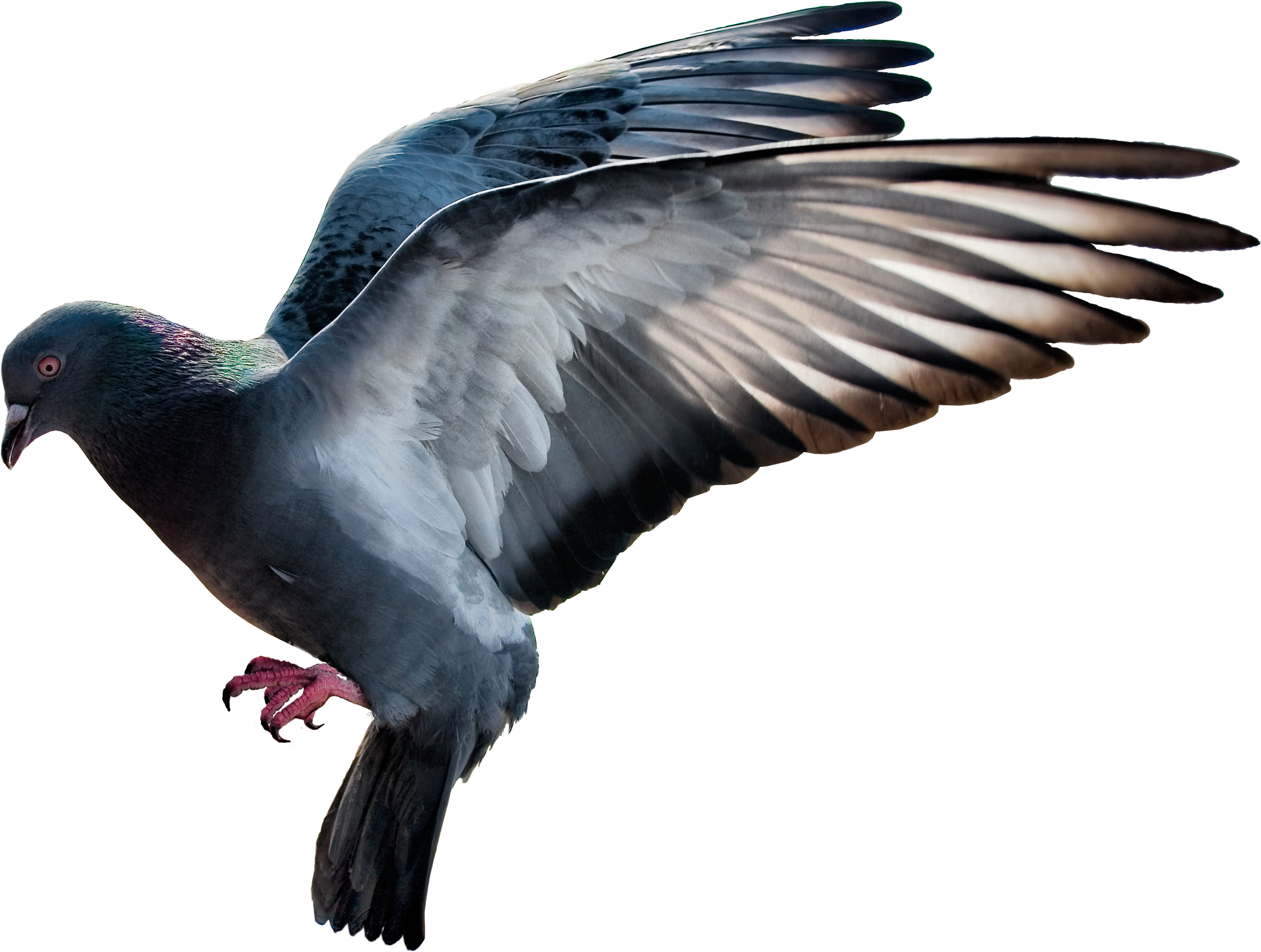 Turkey vulture clipart image library library pigeon PNG image   PNG Animals   Pinterest   Landscape architecture ... image library library