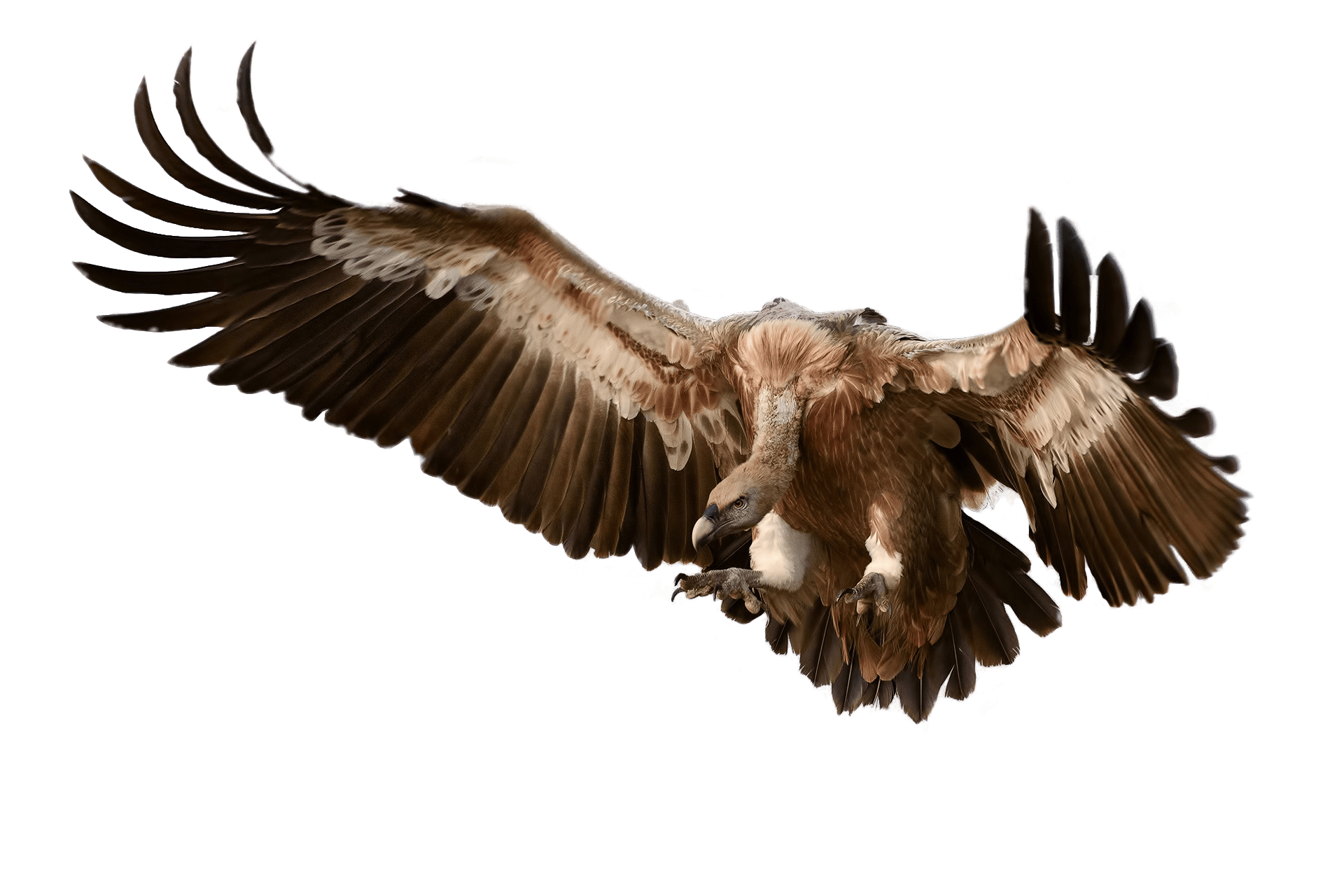Turkey vulture clipart picture royalty free download Vulture Attacking Its Prey transparent PNG - StickPNG picture royalty free download
