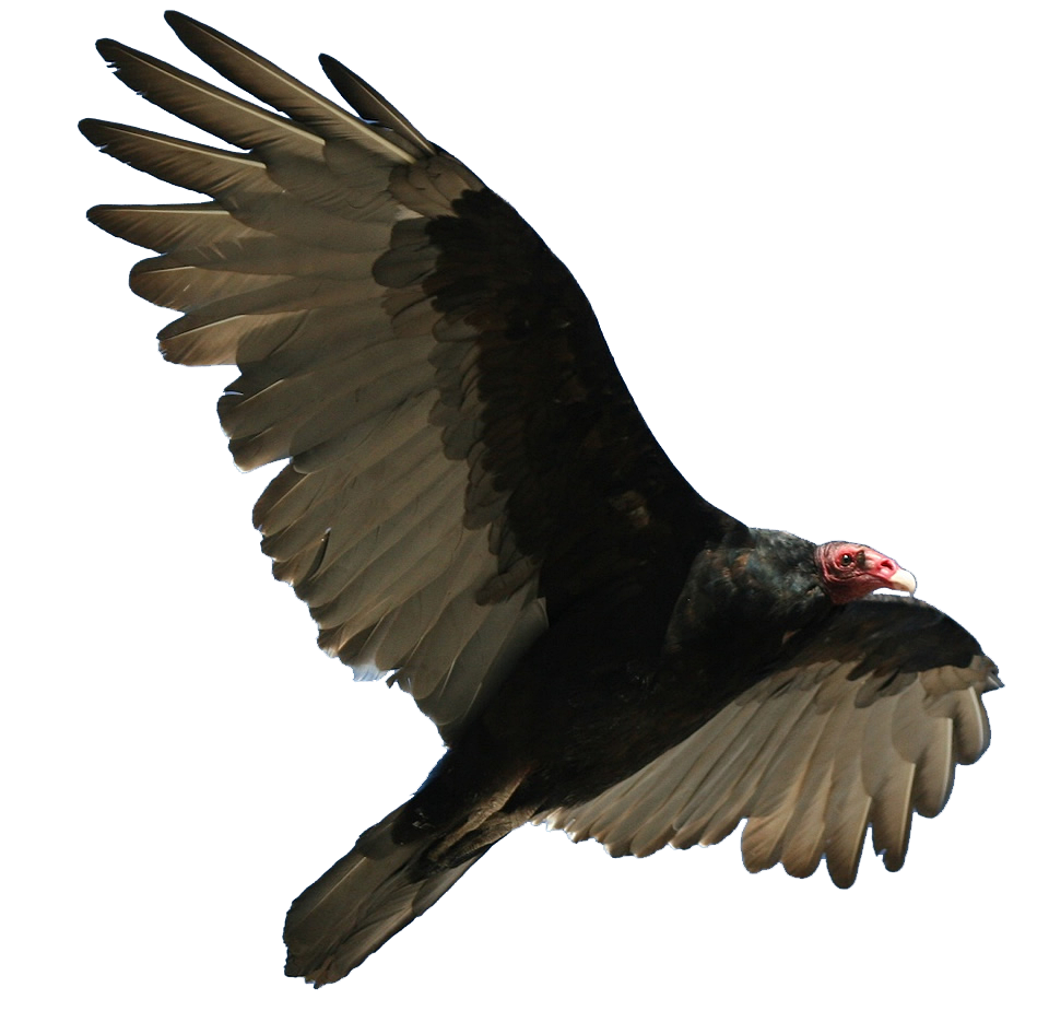 Turkey vulture clipart funny svg library download 28+ Collection of Turkey Vulture Clipart   High quality, free ... svg library download