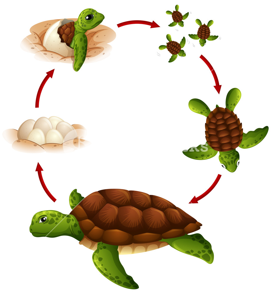 Turtle tanning clipart vector library library Life cycle of turtle Royalty-Free Stock Image - Storyblocks ... vector library library