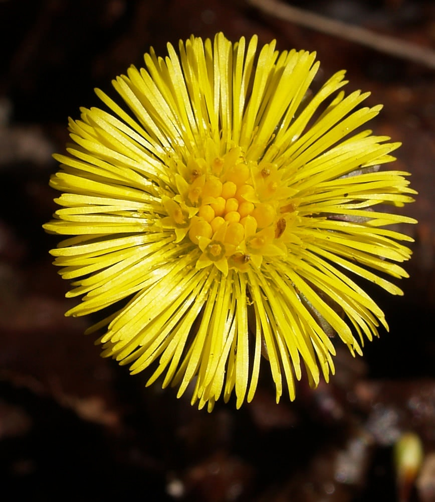 Tussilago clipart graphic free library Coltsfoot Tussilago farfara - /plants/flowers/_C/Coltsfoot__ ... graphic free library
