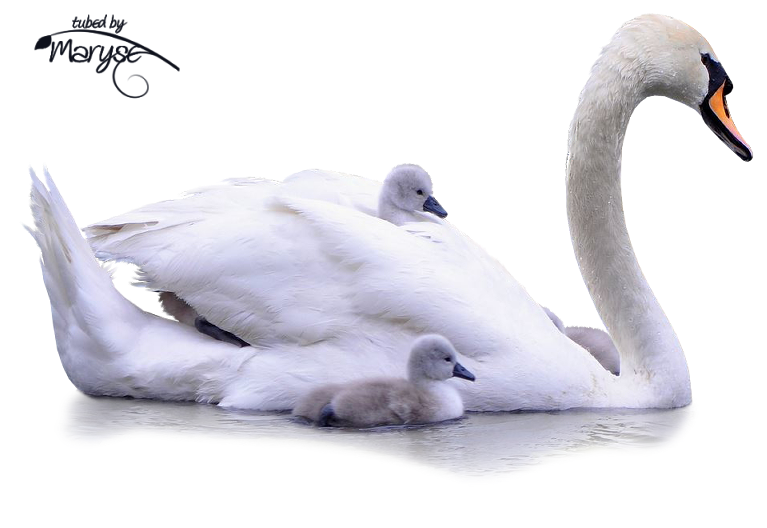 Two swans making a heart clipart black and white download PSP Tubes & créations de Maryse: Tubes Animaux | psp tubes ... black and white download