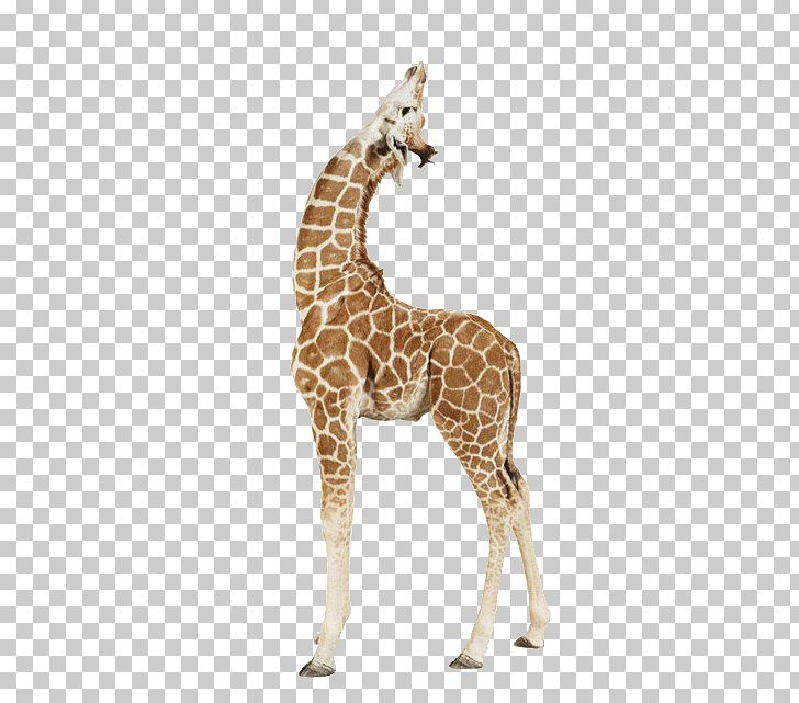 Ufo clipart with a giraffe in it graphic Giraffe Paper Animal Print Printing PNG, Clipart, Africa ... graphic