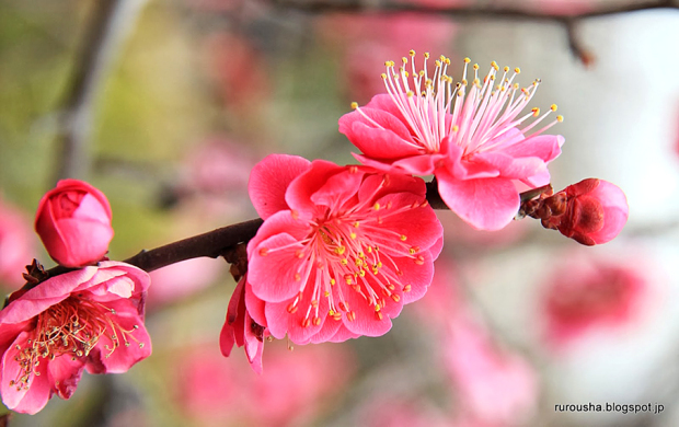 Ume flowers clipart picture freeuse library Hanami | picture freeuse library