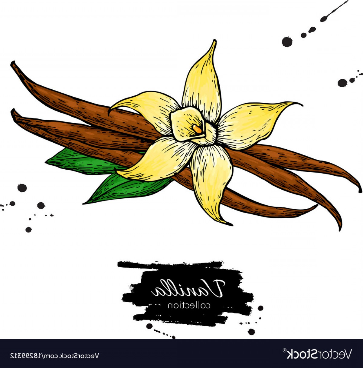 Vanilla bean clipart vector picture free library Vanilla Flower And Bean Stick Drawing Hand Vector | GeekChicPro picture free library