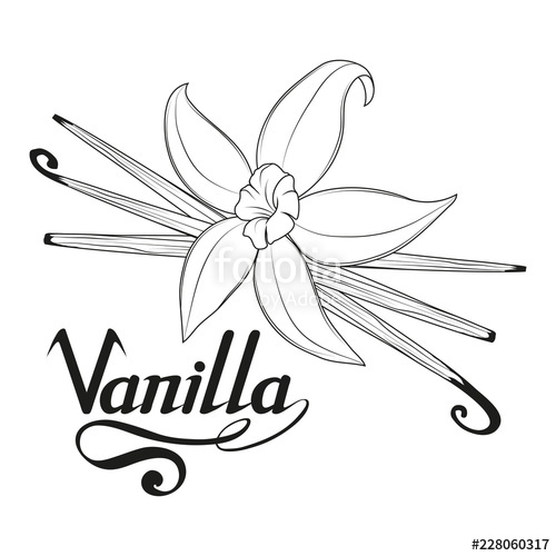 Vanilla bean clipart vector picture download Vanilla Flower Drawing at PaintingValley.com | Explore ... picture download