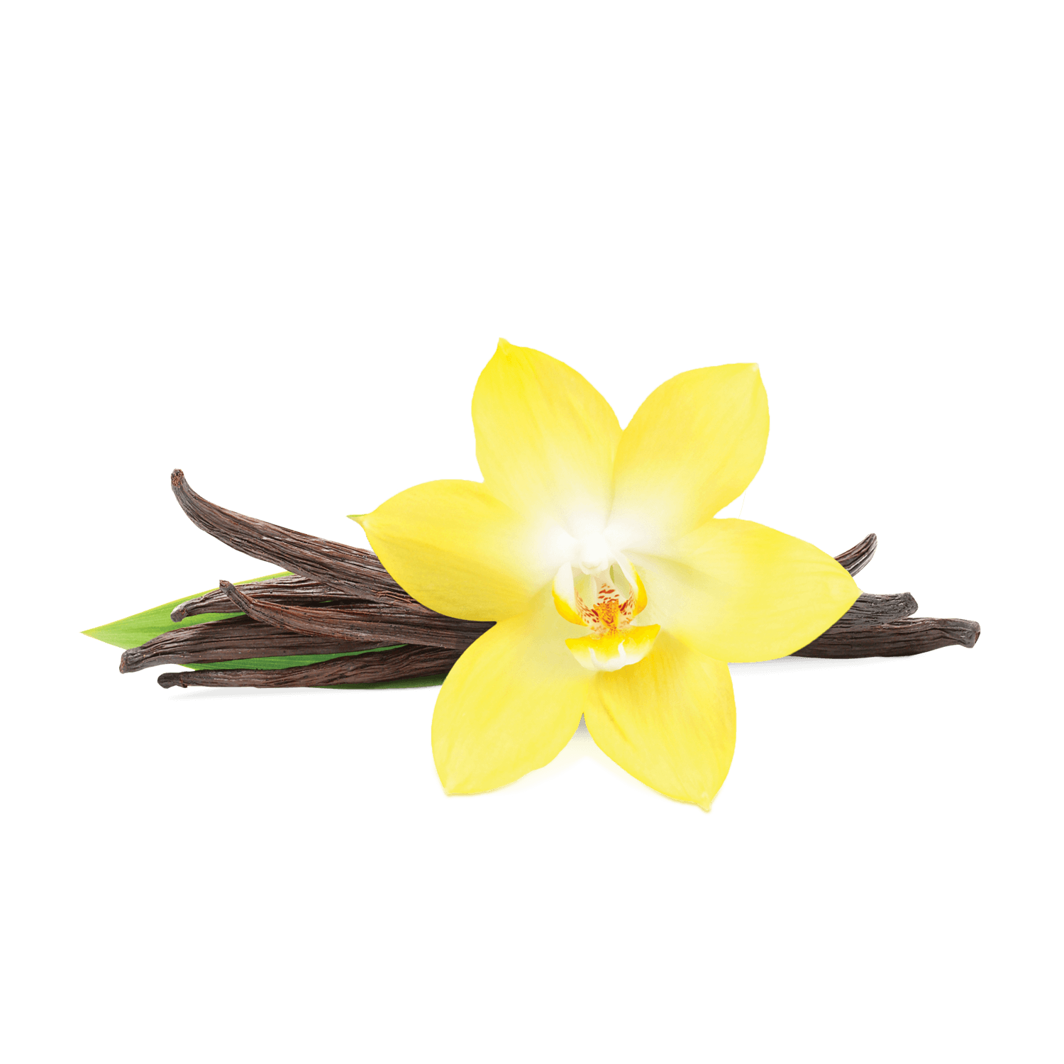 Vanilla flower clipart freeuse Vanilla PNG Transparent Vanilla.PNG Images. | PlusPNG freeuse
