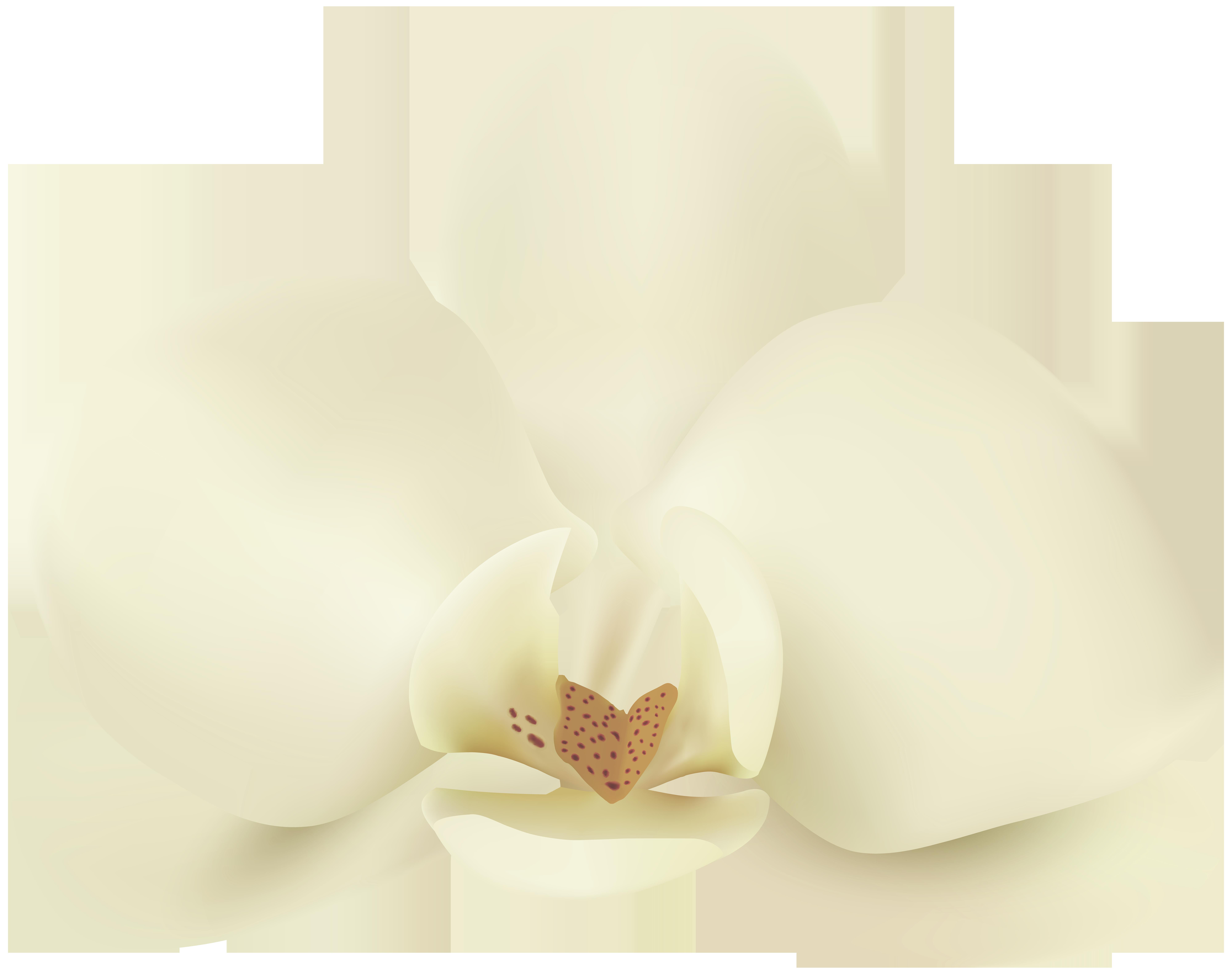 Vanilla flower clipart image black and white library Vanilla Flower PNG Clip Art Image | Gallery Yopriceville - High ... image black and white library