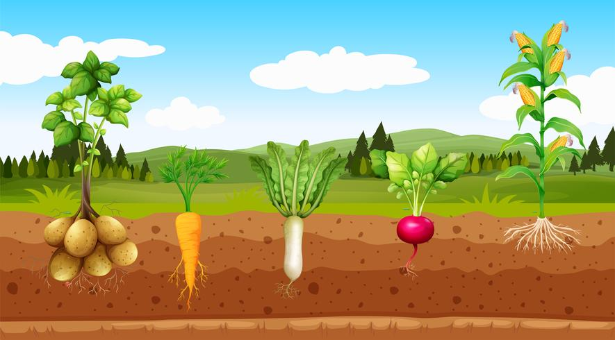 Vegetable field clipart vector clipart freeuse library Agriculture Vegetables and Underground Root - Download Free ... clipart freeuse library