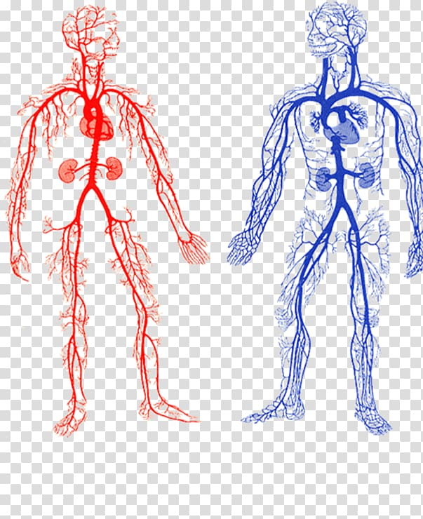 Veins clipart clip black and white Two human veins chart, Arteries and Veins Artery Circulatory ... clip black and white