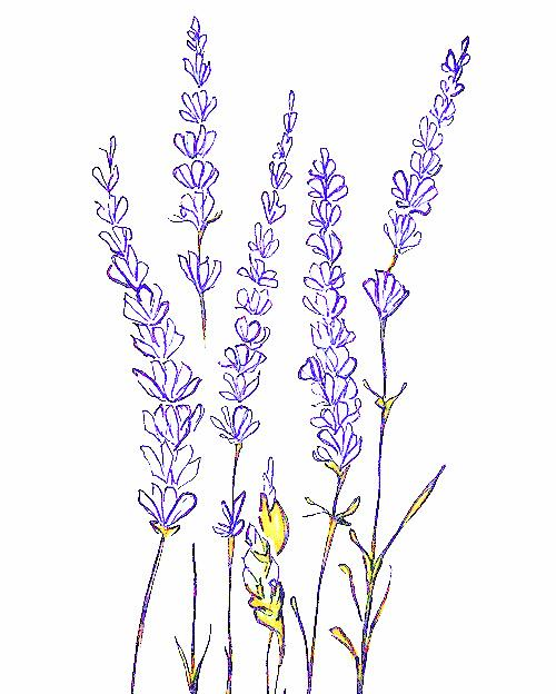 Very small vines of roses clipart lavender free stock Lavender, High Elevation | Art & Watercolor in 2019 ... free stock