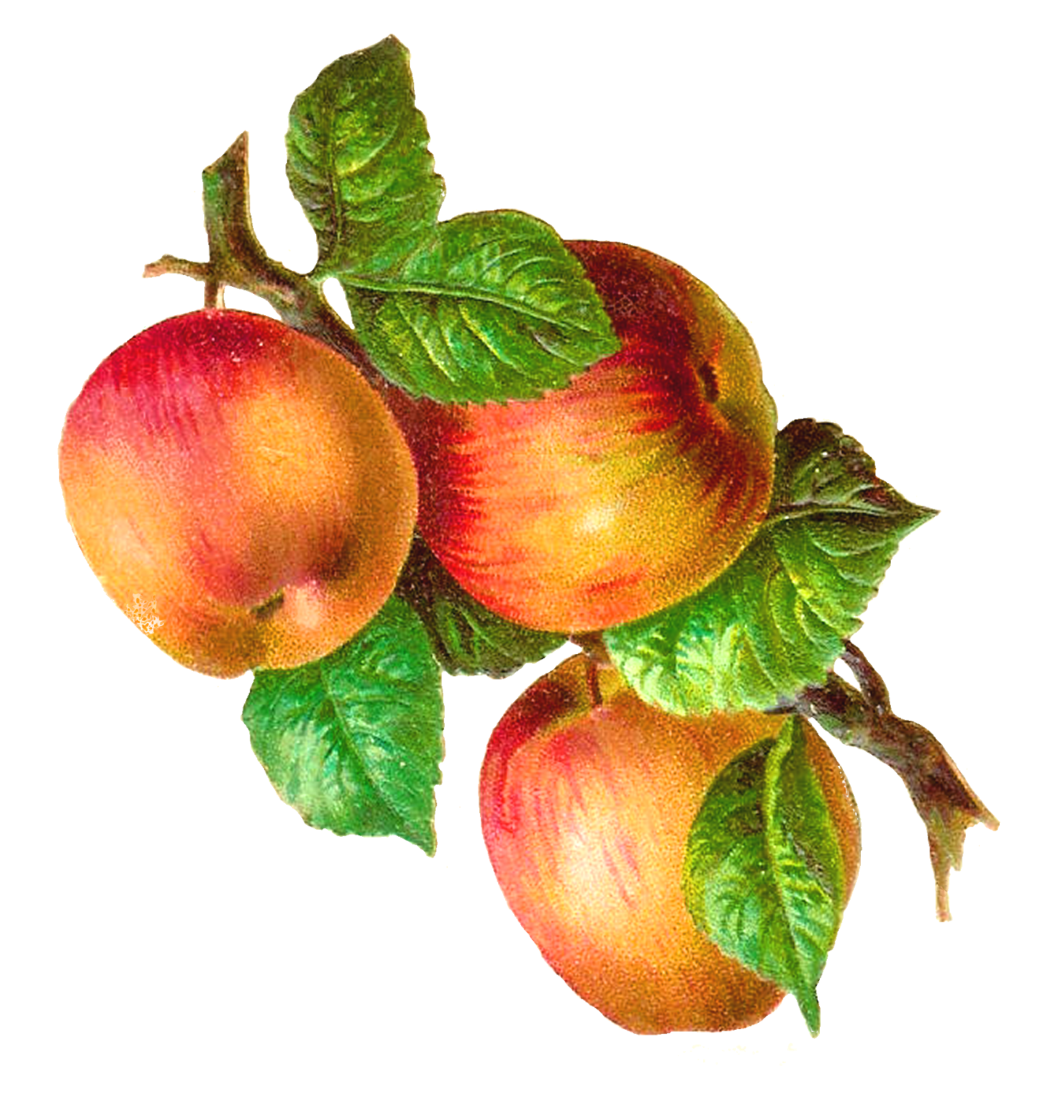 Victorian apple clipart png freeuse stock Antique Images: Free Fruit Clip Art: 3 Gala Apples on a Branch Graphic png freeuse stock
