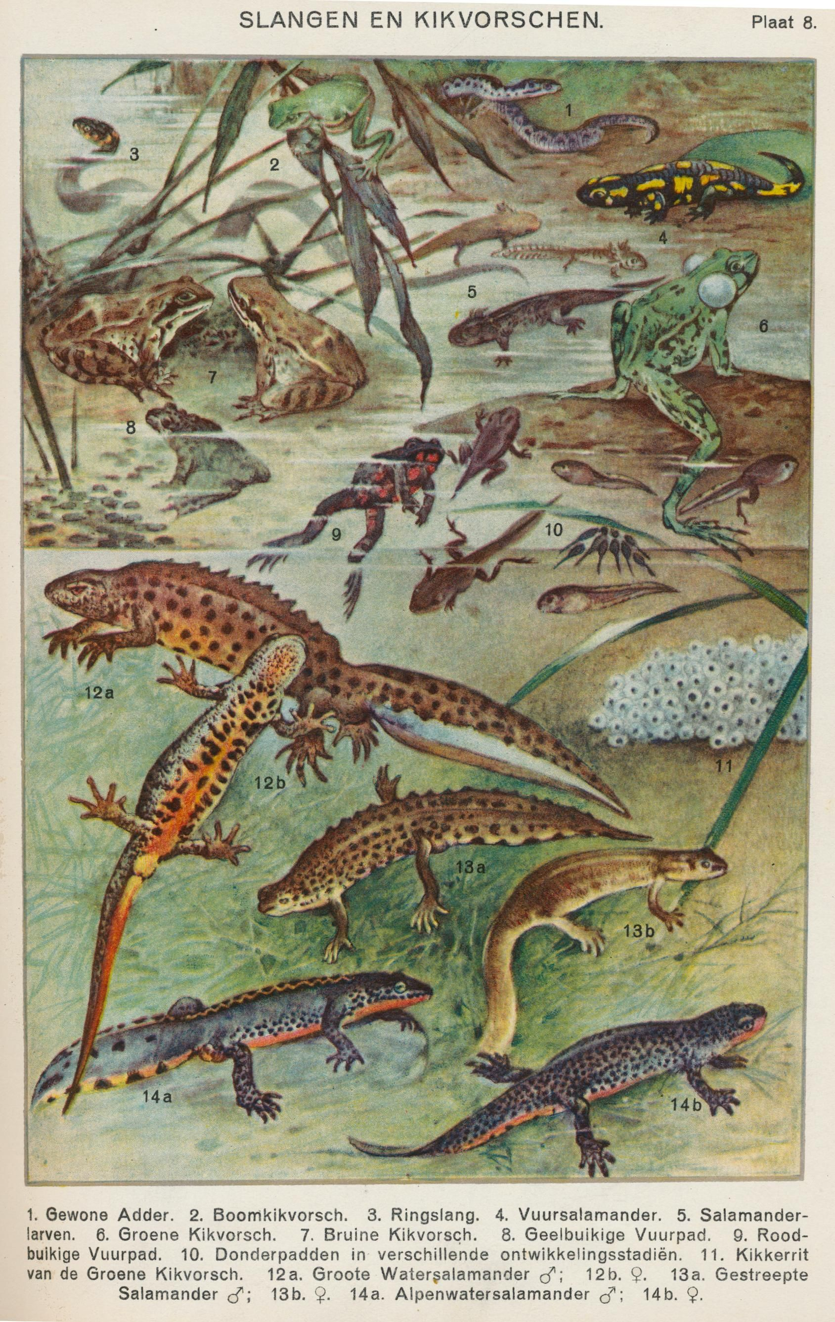 Victorian clipart newt png Vintage pond life illustration of frogs and salamanders ... png