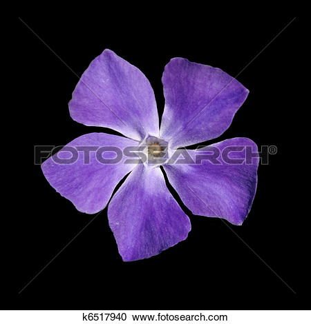 Vinca minor clipart banner free stock Stock Photography of Periwinkle purple flower - Vinca minor ... banner free stock