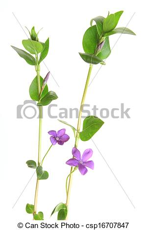 Vinca minor clipart vector library stock Stock Photo of Periwinkle (Vinca minor), flowering against a white ... vector library stock