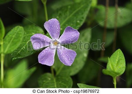 Vinca minor clipart image transparent library Picture of Vinca Minor Purple Flower - Ground cover vinca minor ... image transparent library