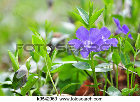 Vinca minor clipart png royalty free library Stock Photo of Lesser periwinkle (Vinca minor) k9542963 - Search ... png royalty free library