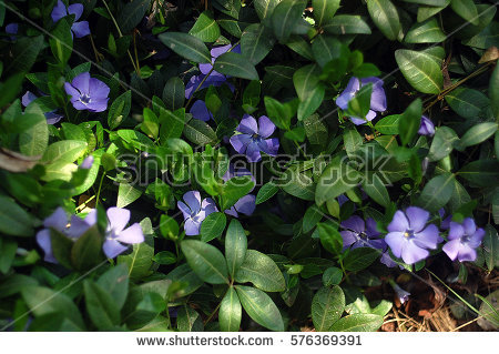 Vinca minor clipart clip art freeuse download Vinca Minor Stock Images, Royalty-Free Images & Vectors | Shutterstock clip art freeuse download