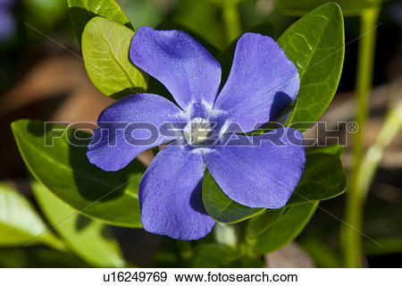 Vinca minor clipart png royalty free stock Stock Photograph of Periwinkle wildflower, (Vinca minor) u16249769 ... png royalty free stock