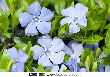 Vinca minor clipart png library download Stock Photo of Vinca minor with dew closeup flowers k3681563 ... png library download